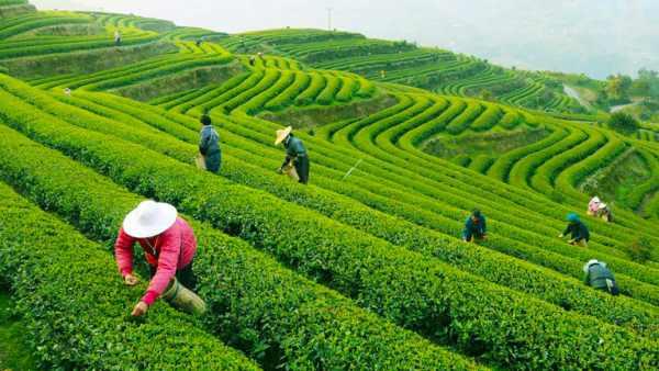 चाय का व्यापार