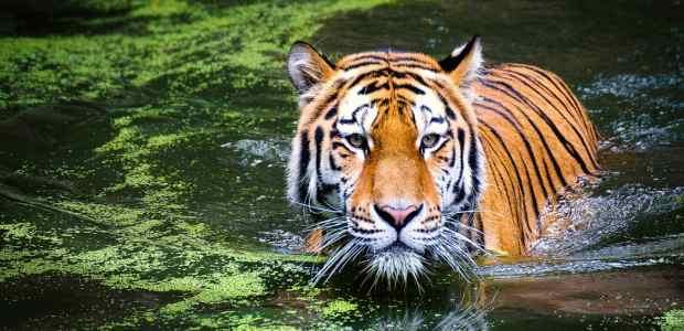 International Tiger Day Essay in Hindi
